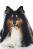 Shetland sheepdog Arkivfoto
