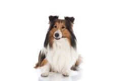 Shetland sheepdog arkivbilder