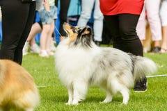 Shetland Sheepdog royaltyfri foto