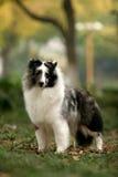 Shetland Sheepdog Stock Photography