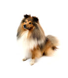 Shetland sheepdog Royalty Free Stock Image