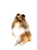 Shetland sheepdog Stock Image