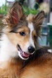 Shetland Sheepdog Royalty Free Stock Images