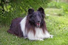 Shetland Sheepdog fotografering för bildbyråer