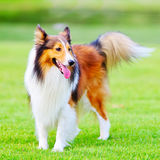 Shetland sheepdog 6. A 4-year-old Shetland sheepdog(shelti) is standing on the grassland staring to the its left Stock Photo