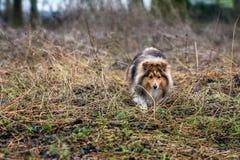 Shetland Sheepdog royaltyfri bild