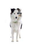 Shetland Sheepdog Stock Photos