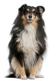Shetland Sheepdog, 7 years old, sitting. In front of white background stock images