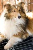 Shetland sheepdog. Here is my shetland sheepdog Royalty Free Stock Images