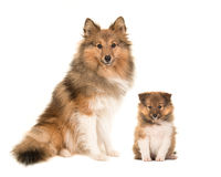 Shetland sheepdog adult and puppy dogs sitting next to each other stock photos