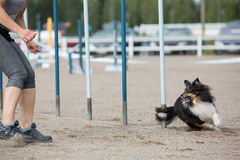Shetland Sheepdog in the agility slalom Stock Photo