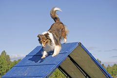 Shetland Sheepdog on agility trail Royalty Free Stock Photography