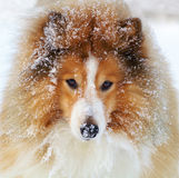 Shetland sheepdog. Also called Sheltie, dive in the deep snow after the voles so as foxes do. But he never manage to catch any, so it's just for fun to get to Royalty Free Stock Photos