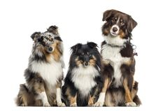 Shetland Sheepdog and Australian Shepherd, dogs in a row, white Royalty Free Stock Photos