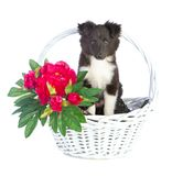 Shetland Sheepdog in basket. On white background Stock Photo
