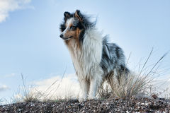 Shetland sheepdog with blue sky background Stock Photos