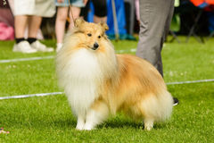 Shetland sheepdog Stock Images
