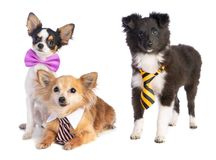 Shetland Sheepdog and Chihuahua with tie and bow tie. On white background Royalty Free Stock Image