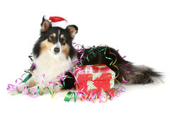 Shetland sheepdog in Christmas hat with a gift. Shetland sheepdog in Christmas hat with gift on white background stock images