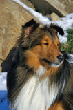 Shetland Sheepdog portrait. Portrait of shaded mahogany sable Shetland Sheepdog looking right out of frame with background of snow covered rocks on bright Royalty Free Stock Image