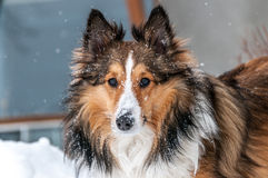 Shetland sheepdog closeup in snow Stock Images