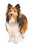 Shetland Sheepdog Dog Isolated on White. Brown and tan Shetland Sheepdog and isolated on white Royalty Free Stock Photography