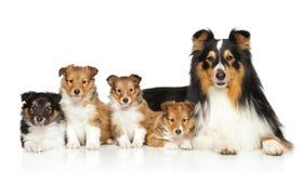 Shetland sheepdog family. Happiness Shetland sheepdog family on white background Royalty Free Stock Photos