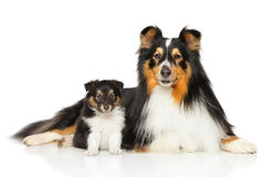 Shetland Sheepdog father and son. Shetland Sheepdog family father and son posing on white background Stock Images