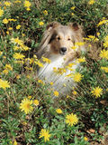 Shetland sheepdog in flowers Royalty Free Stock Photos