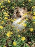 Shetland sheepdog in flowers. Shetland sheepdog sheltie standing in flowers royalty free stock photos