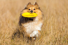 Shetland Sheepdog with a flying disc runs over a field Royalty Free Stock Photography