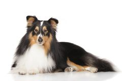Shetland sheepdog in front of white background Stock Photography