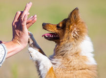 Shetland sheepdog gives five to human hand Stock Photos