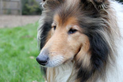 Shetland sheepdog head landscape Royalty Free Stock Image