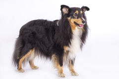 Shetland Sheepdog, isolated Royalty Free Stock Photo