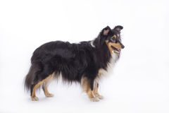 Shetland Sheepdog, isolated Royalty Free Stock Photos