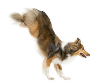 Shetland Sheepdog jumping. In front of a white background Stock Image