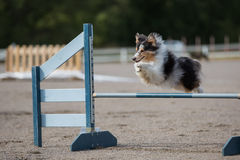 Shetland Sheepdog jumps over an agility hurdle Stock Images
