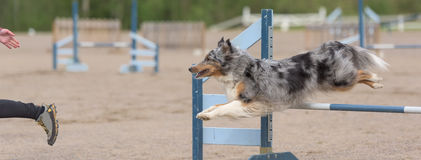 Shetland Sheepdog jumps over an agility hurdle Royalty Free Stock Images