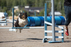 Shetland Sheepdog jumps over an hurdle Royalty Free Stock Photos