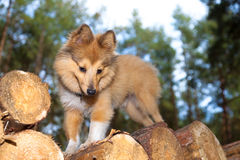Shetland sheepdog on logs Stock Photo