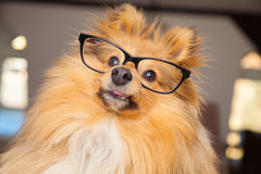 Shetland Sheepdog looks through a pair of glasses Royalty Free Stock Photos