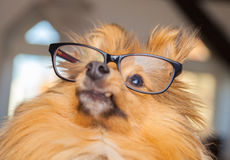 Shetland Sheepdog looks through a pair of glasses Stock Photos