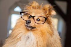 Shetland Sheepdog looks through a pair of glasses Royalty Free Stock Photo
