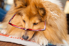 Shetland Sheepdog looks through a pair of glasses Royalty Free Stock Photo