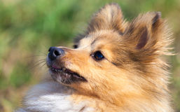 Shetland Sheepdog looks to his owner Stock Image