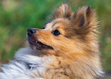 Shetland Sheepdog looks to his owner Stock Photos