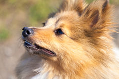 Shetland Sheepdog looks to his owner Stock Images