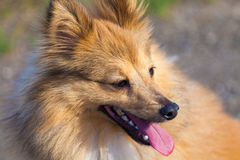 Shetland Sheepdog looks to his owner Royalty Free Stock Photos