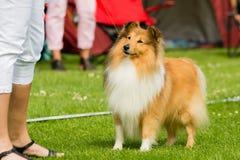 Shetland sheepdog Stock Photo